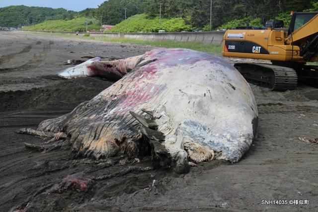 SNH14035 [漂流] 様似町(太平洋) ナガスクジラ – Stranding Network Hokkaido